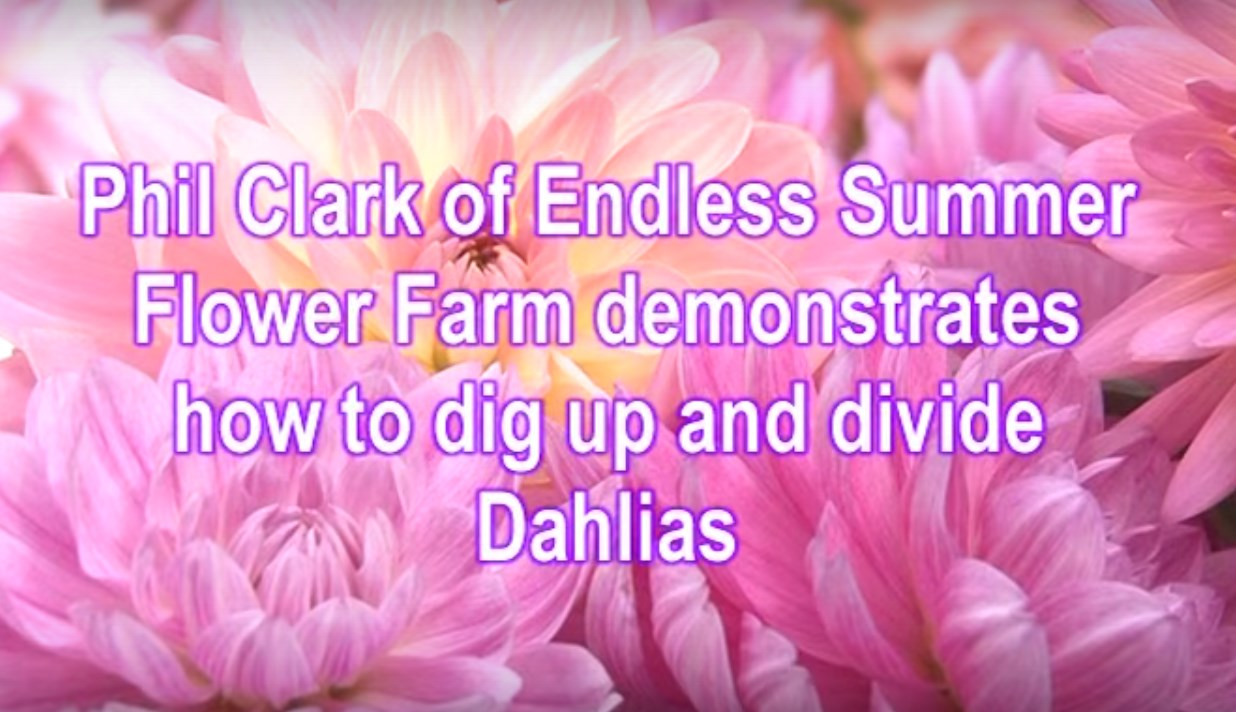 Digging dividing Dahlias